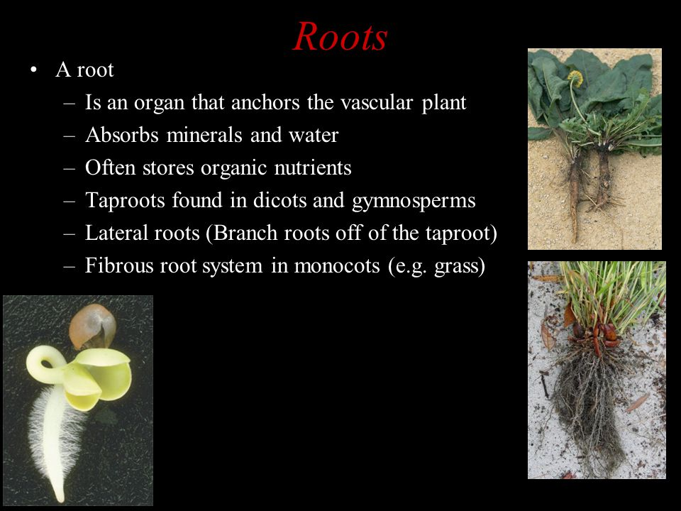 Roots A root Is an organ that anchors the vascular plant
