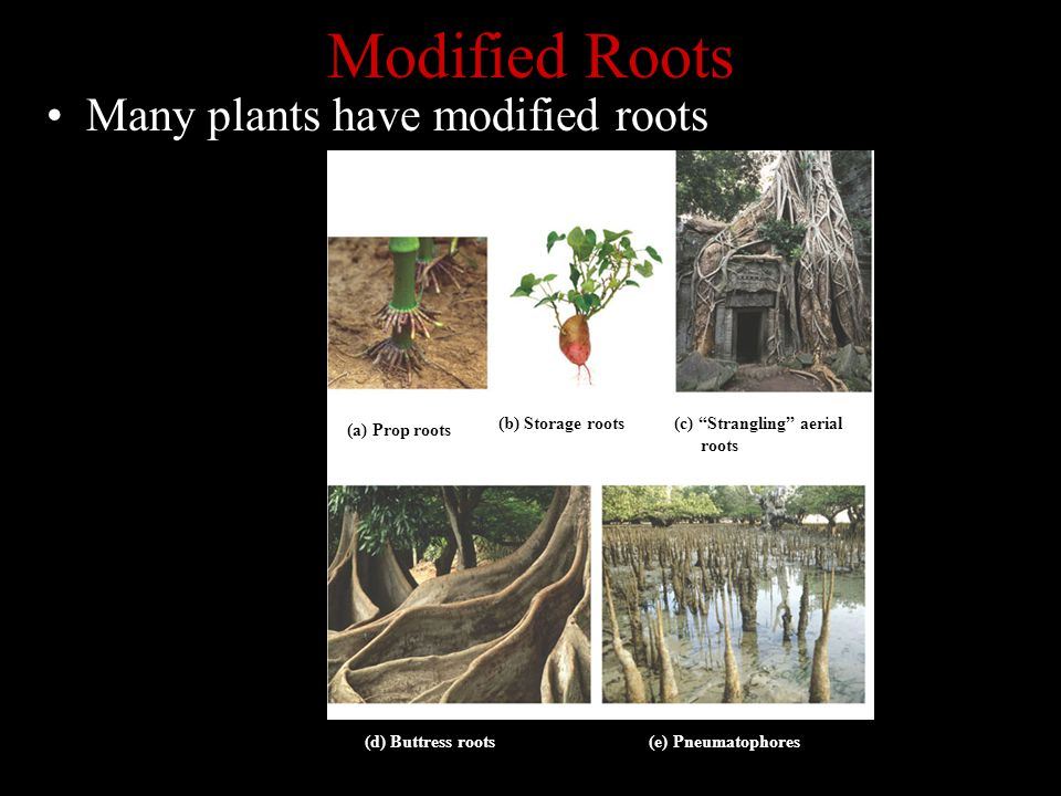 Modified Roots Many plants have modified roots (a) Prop roots