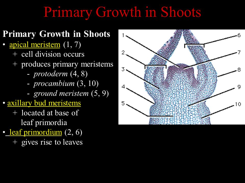 Primary Growth in Shoots
