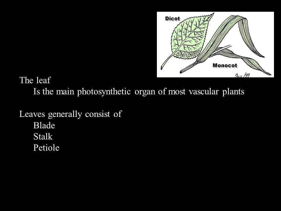 The leaf Is the main photosynthetic organ of most vascular plants. Leaves generally consist of. Blade.