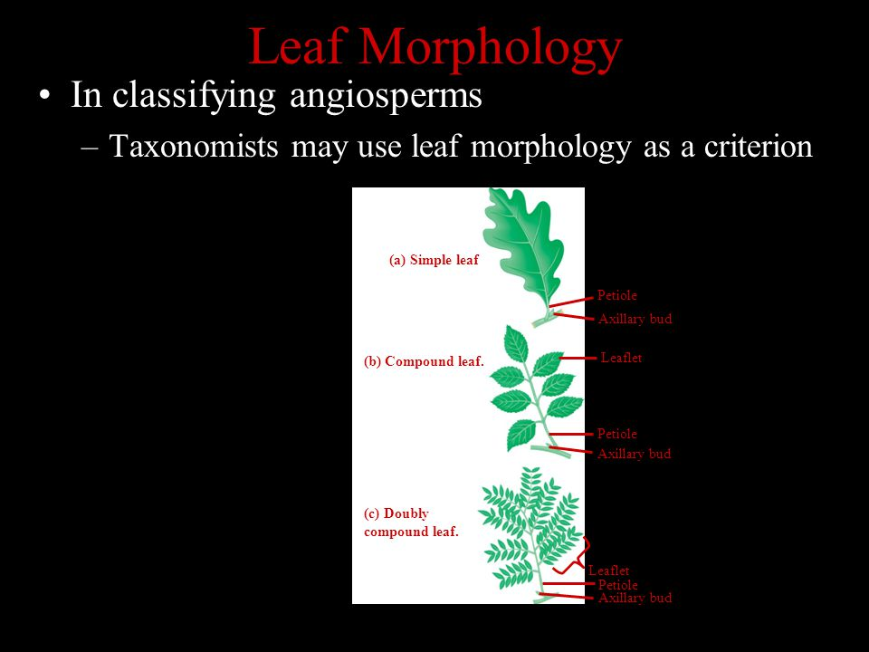 Leaf Morphology In classifying angiosperms