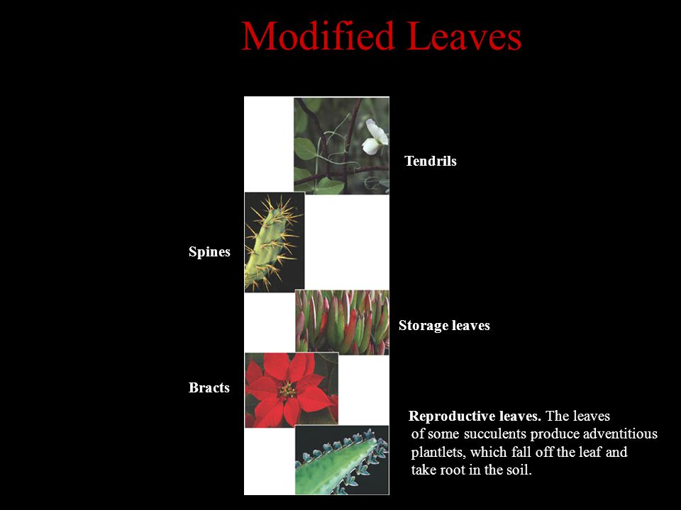Modified Leaves Tendrils Spines Storage leaves Bracts