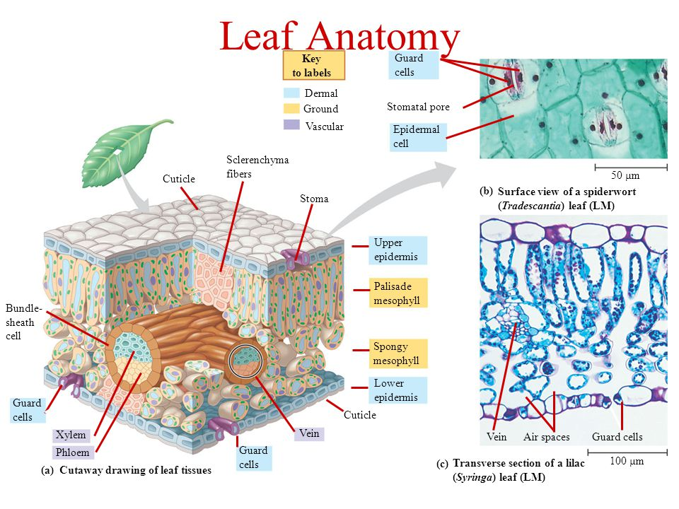 Cutaway drawing of leaf tissues