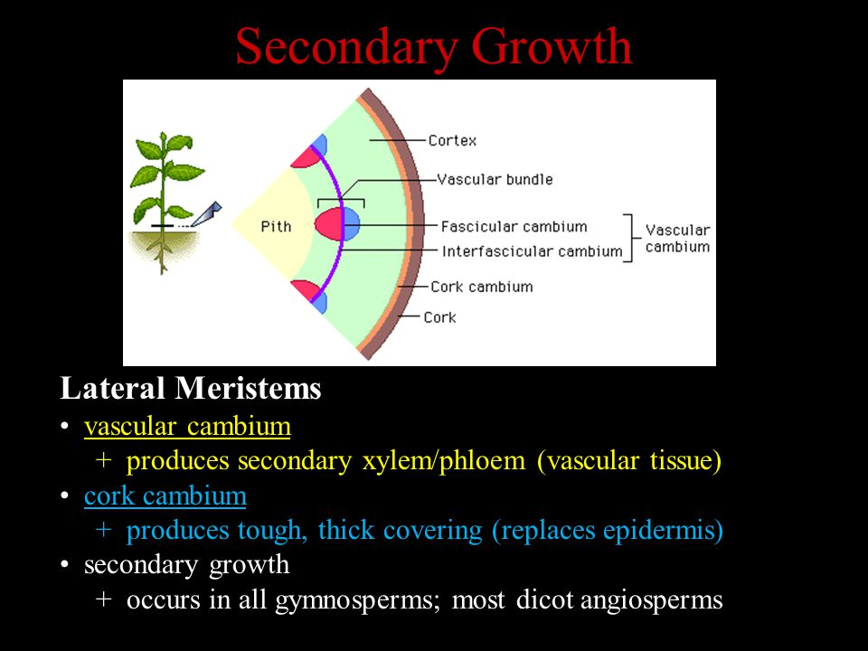 Secondary Growth Lateral Meristems vascular cambium