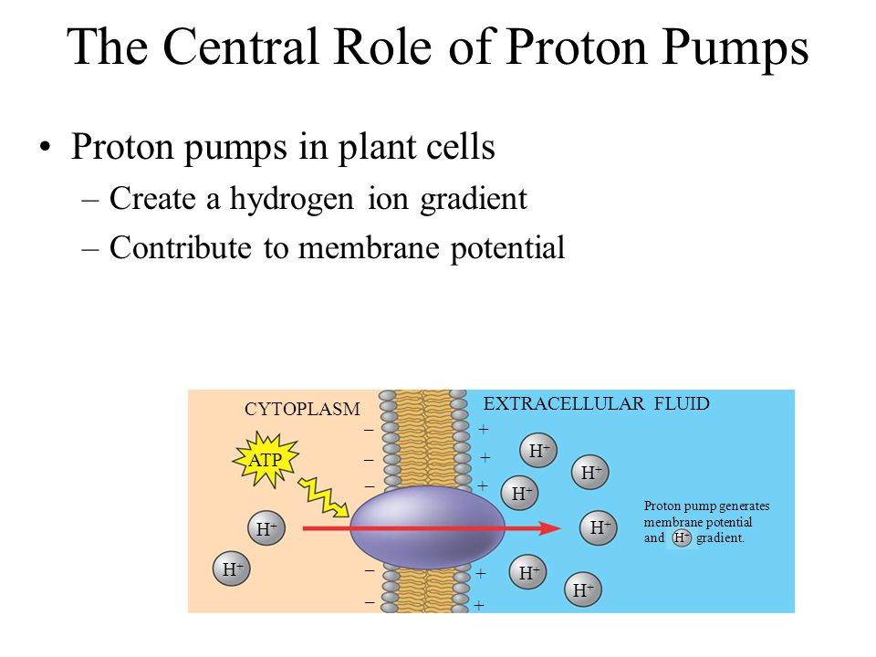 The Central Role of Proton Pumps