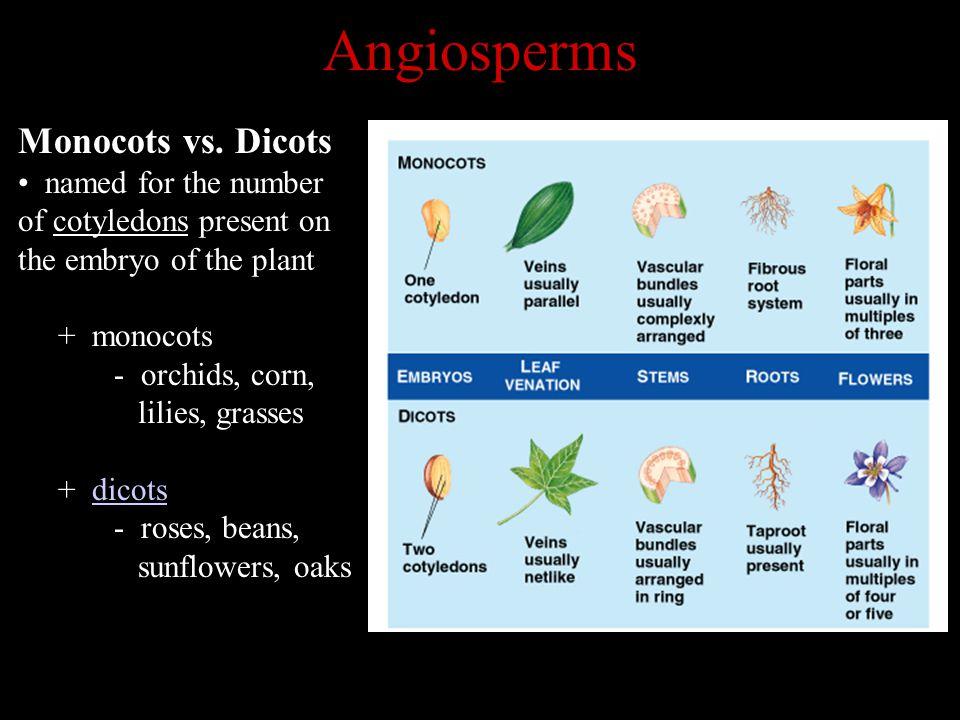 Angiosperms Monocots vs. Dicots named for the number