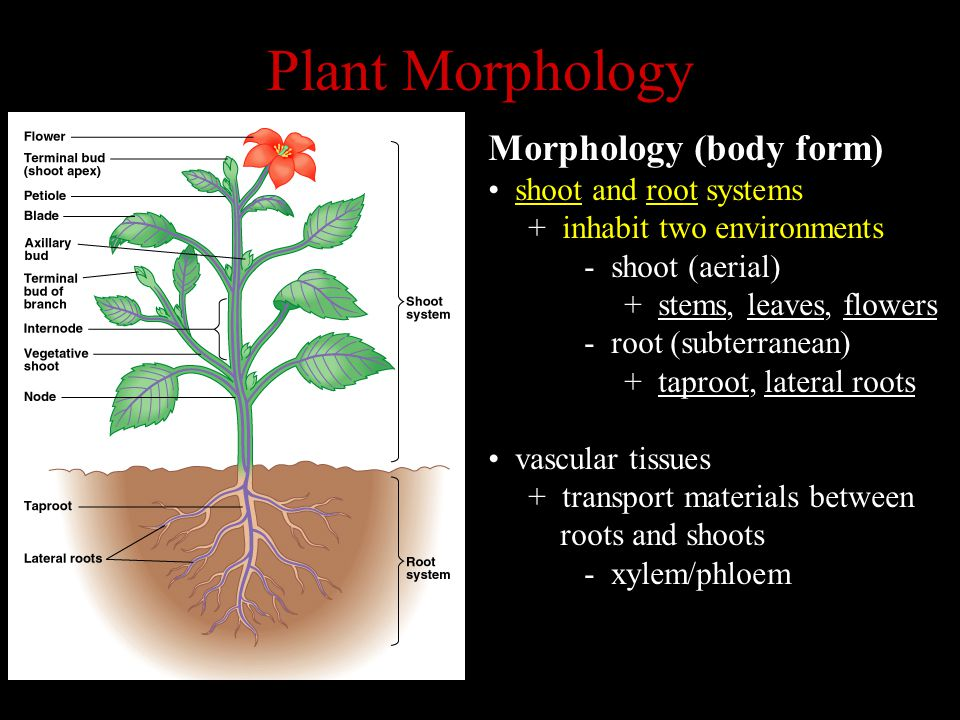 Plant Morphology Morphology (body form) shoot and root systems