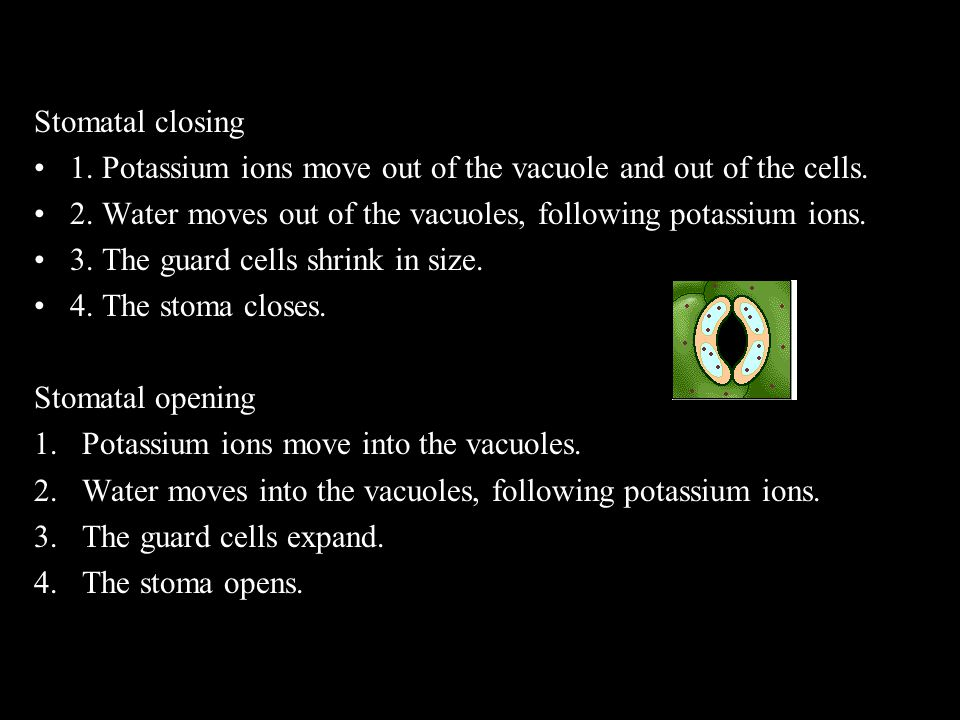 Stomatal closing 1. Potassium ions move out of the vacuole and out of the cells. 2. Water moves out of the vacuoles, following potassium ions.