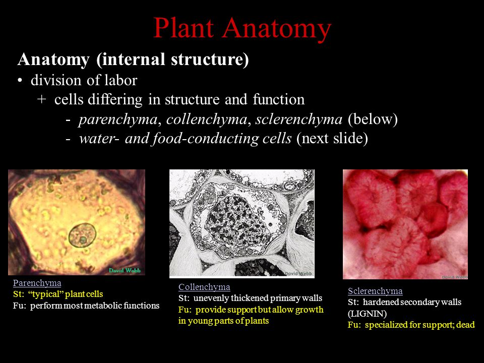 Plant Anatomy Anatomy (internal structure) division of labor