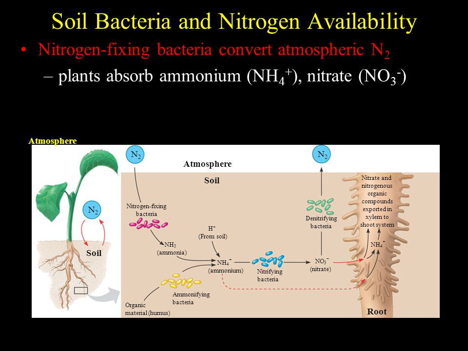 Soil Bacteria and Nitrogen Availability