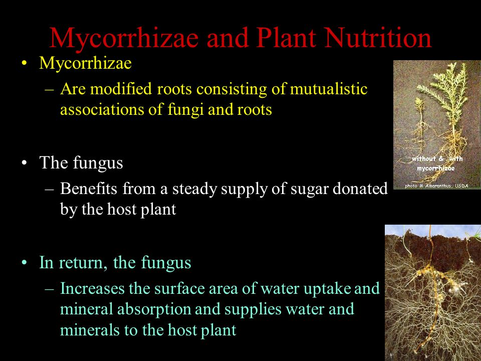 Mycorrhizae and Plant Nutrition