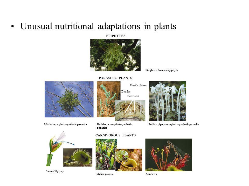 Staghorn fern, an epiphyte Mistletoe, a photosynthetic parasite