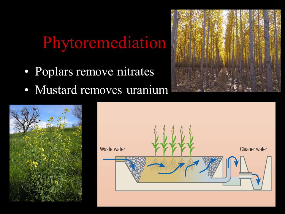 Phytoremediation Poplars remove nitrates Mustard removes uranium