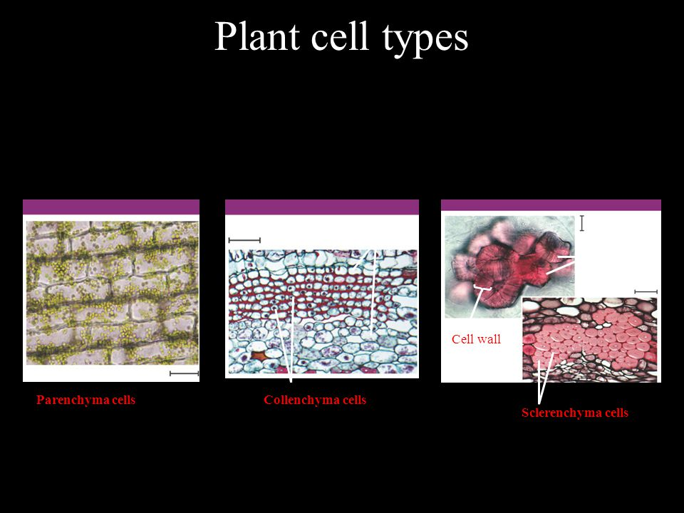 Plant cell types Parenchyma cells Collenchyma cells Cell wall