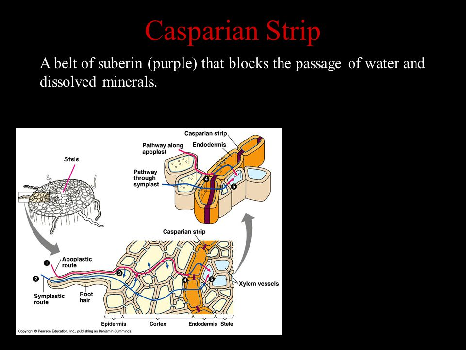 Casparian Strip A belt of suberin (purple) that blocks the passage of water and dissolved minerals.