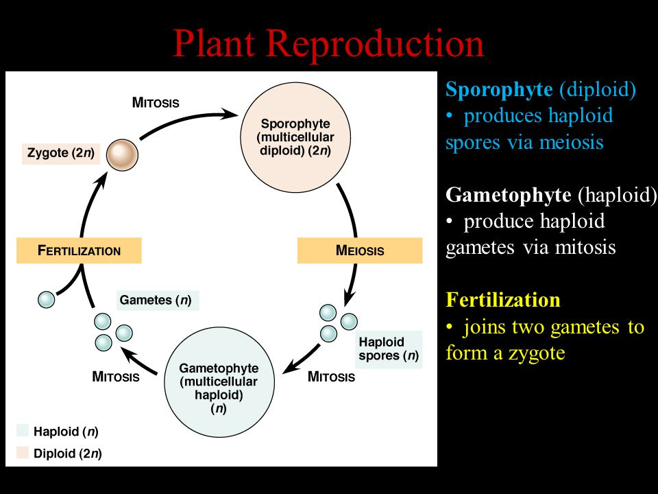 Plant Reproduction Sporophyte (diploid) produces haploid
