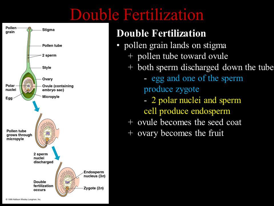 Double Fertilization Double Fertilization pollen grain lands on stigma