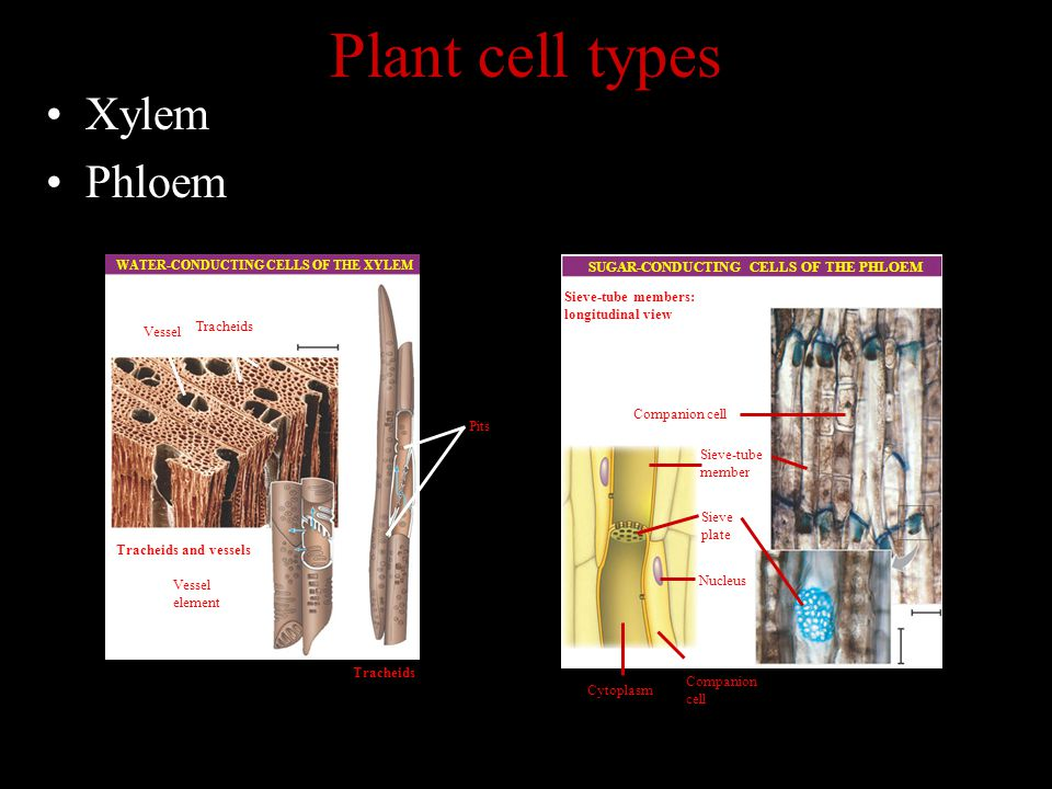 Plant cell types Xylem Phloem Vessel Tracheids Tracheids and vessels