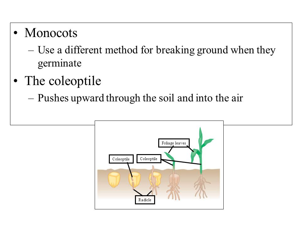 Monocots The coleoptile