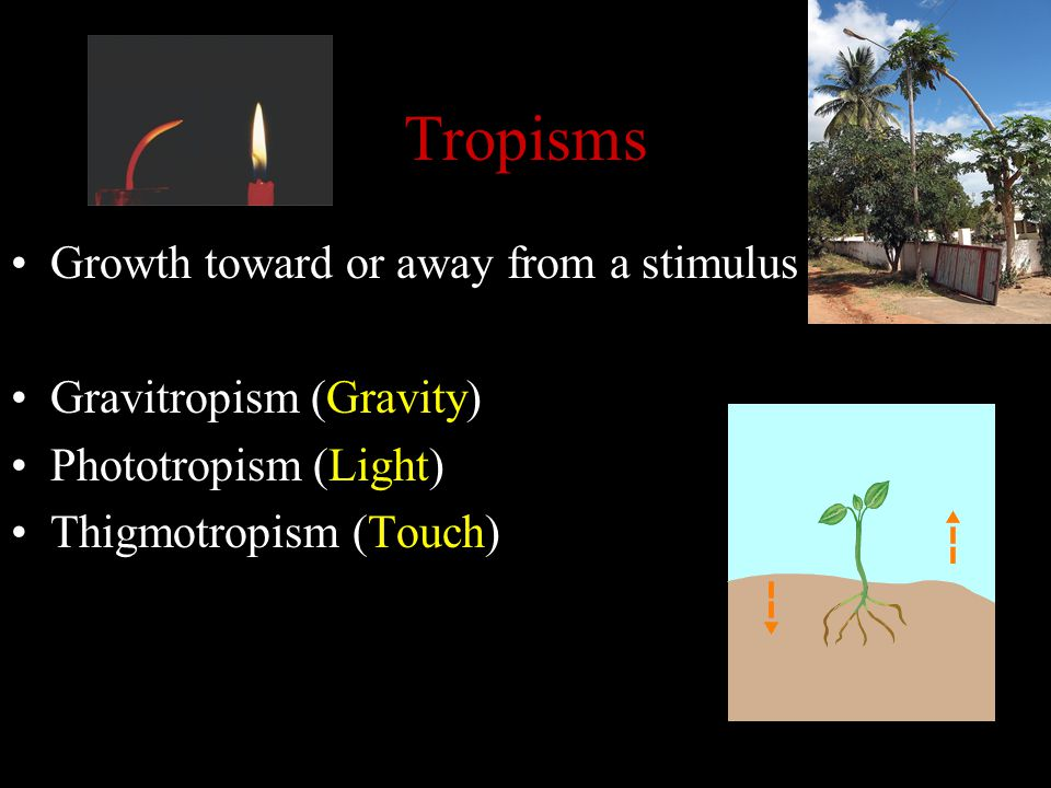 Tropisms Growth toward or away from a stimulus Gravitropism (Gravity)