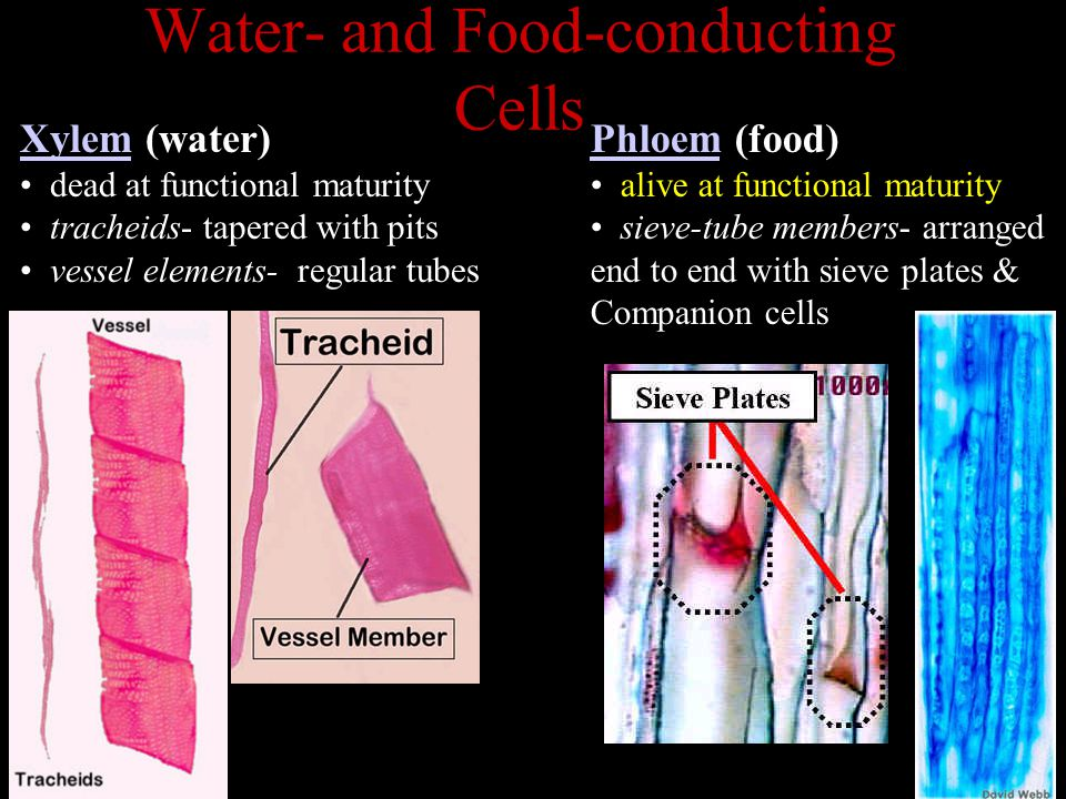 Water- and Food-conducting Cells