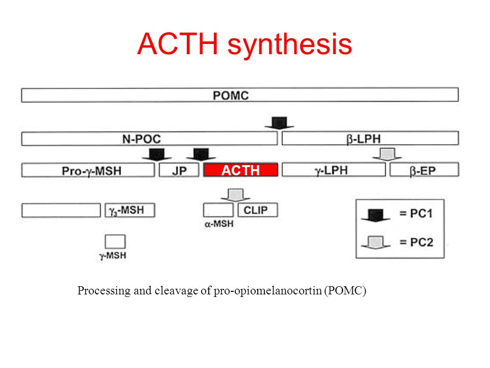 ACTH synthesis ACTH Processing and cleavage of pro-opiomelanocortin (POMC)