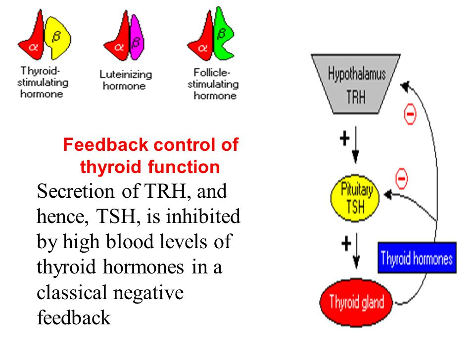 Feedback control of thyroid function