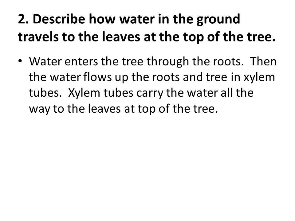 2. Describe how water in the ground travels to the leaves at the top of the tree.