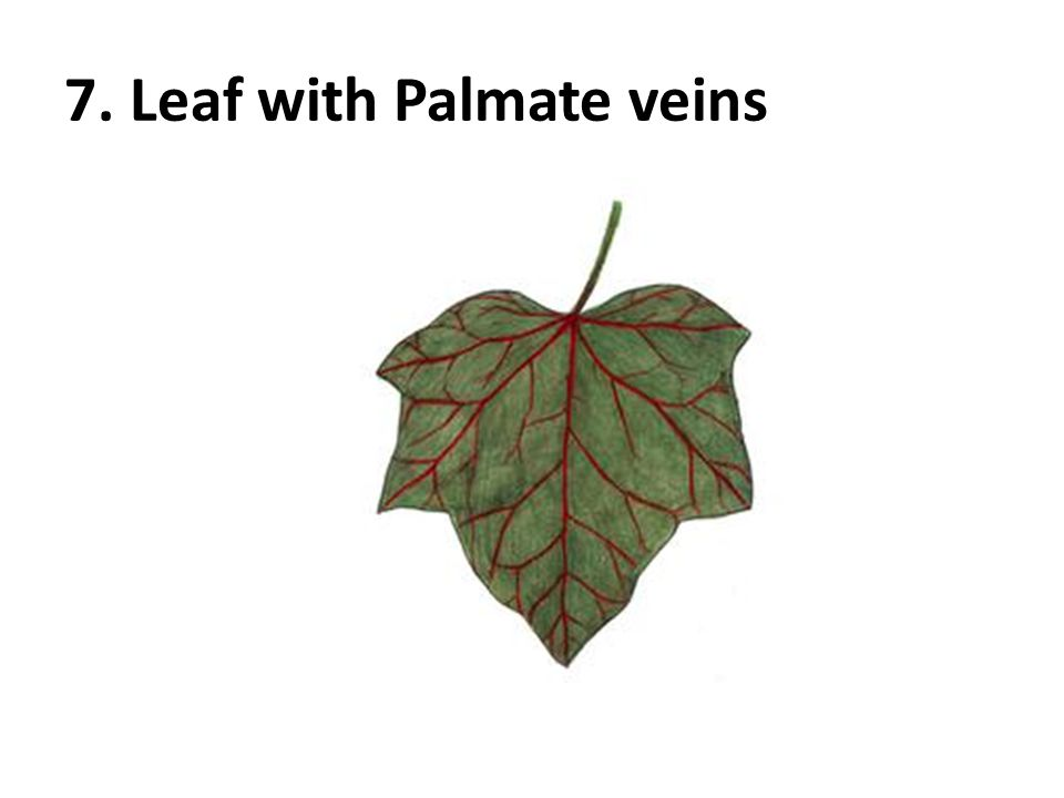 7. Leaf with Palmate veins