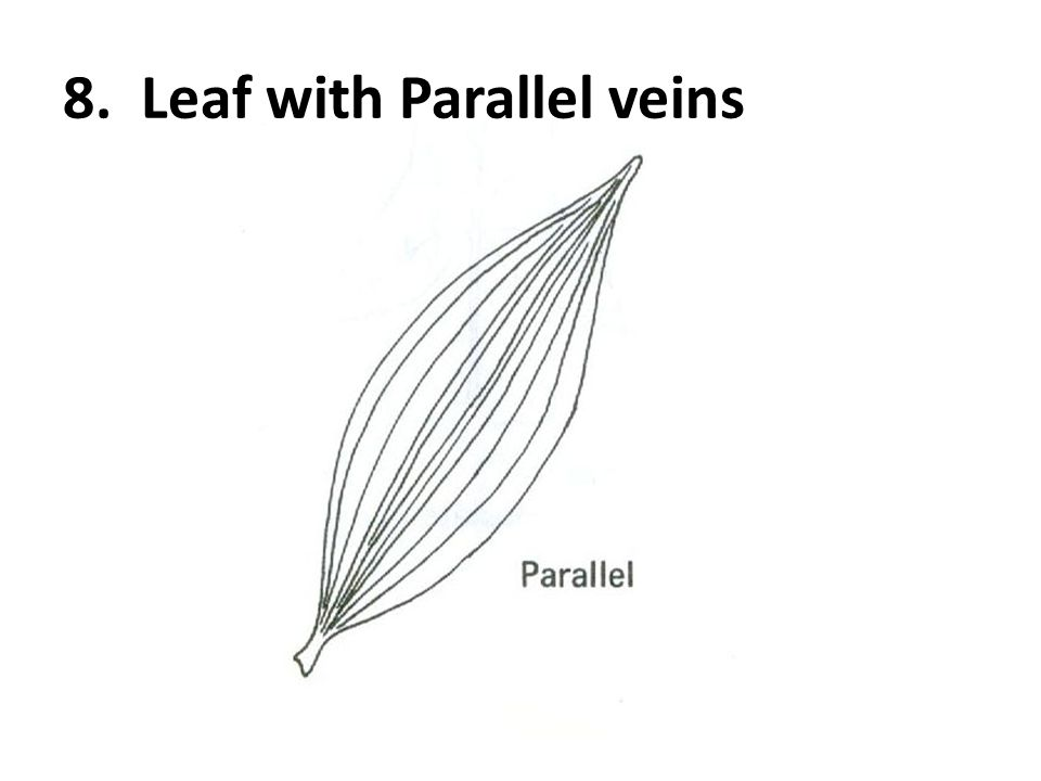 8. Leaf with Parallel veins
