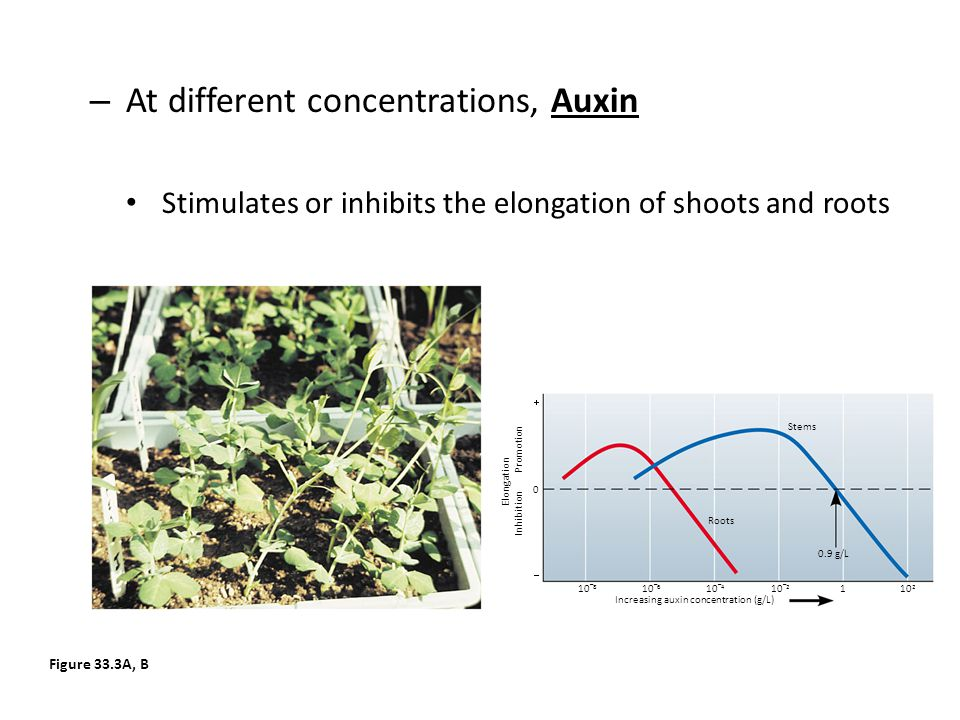 At different concentrations, Auxin