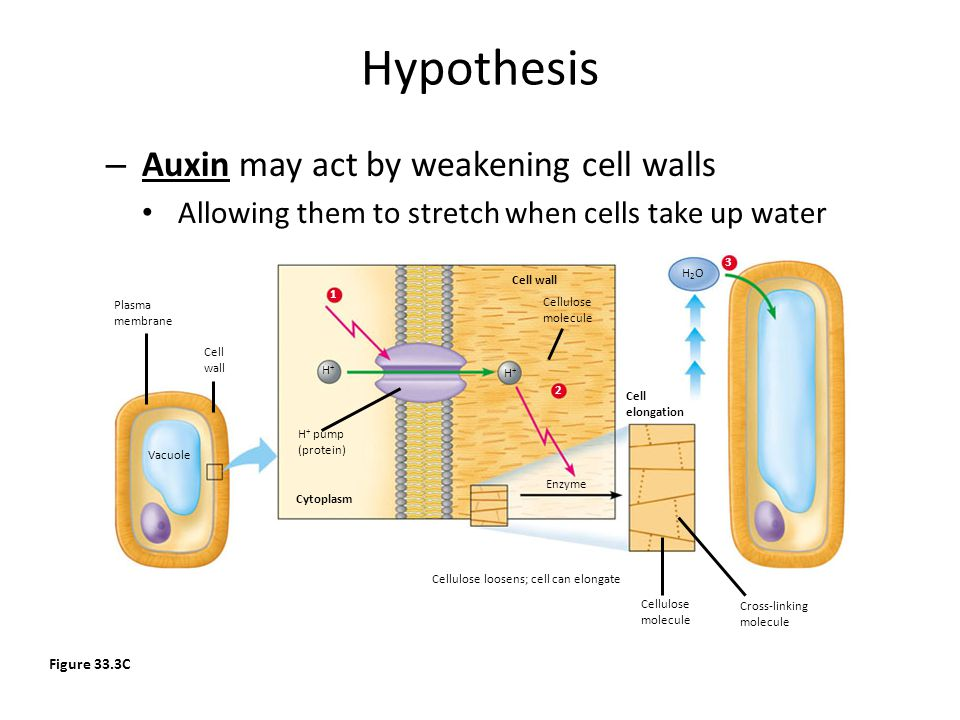 Hypothesis Auxin may act by weakening cell walls