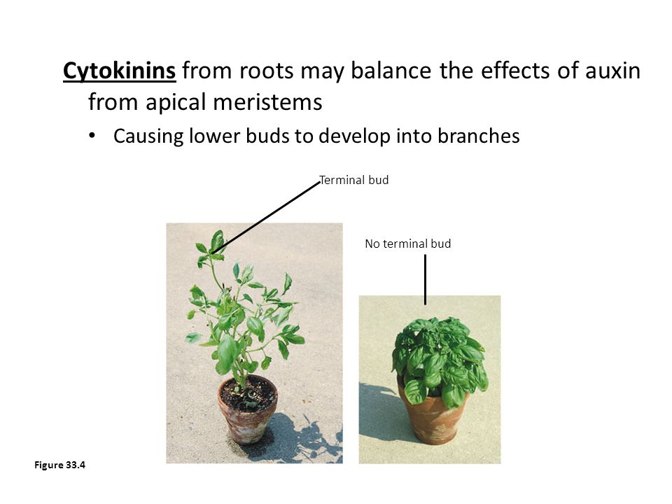 Cytokinins from roots may balance the effects of auxin from apical meristems