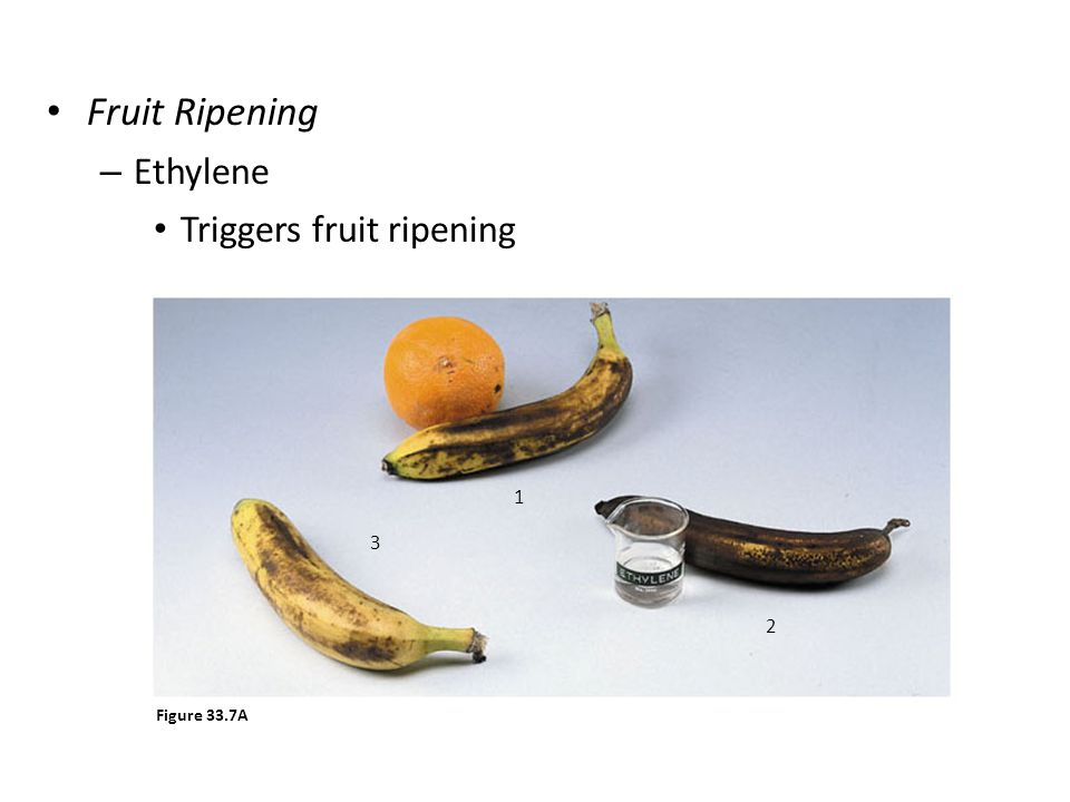 Fruit Ripening Ethylene Triggers fruit ripening 1 2 3 Figure 33.7A
