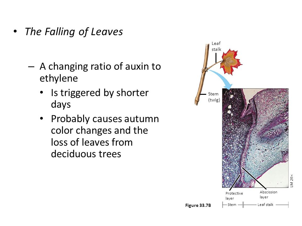 The Falling of Leaves A changing ratio of auxin to ethylene