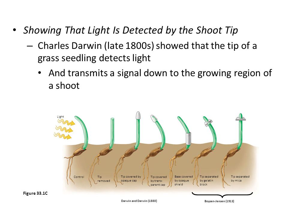 Showing That Light Is Detected by the Shoot Tip