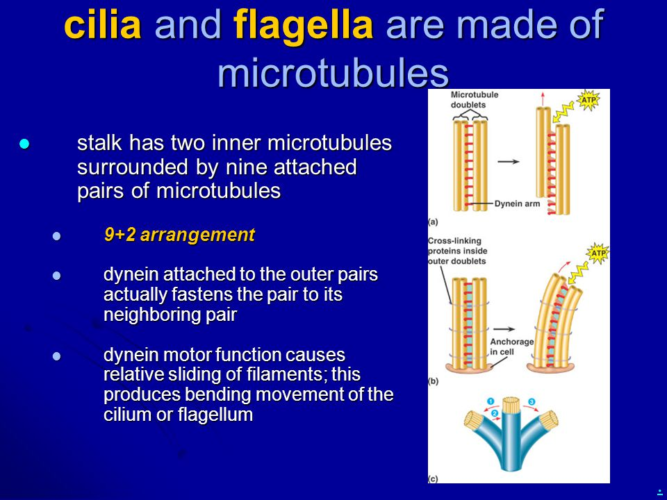 cilia and flagella are made of microtubules