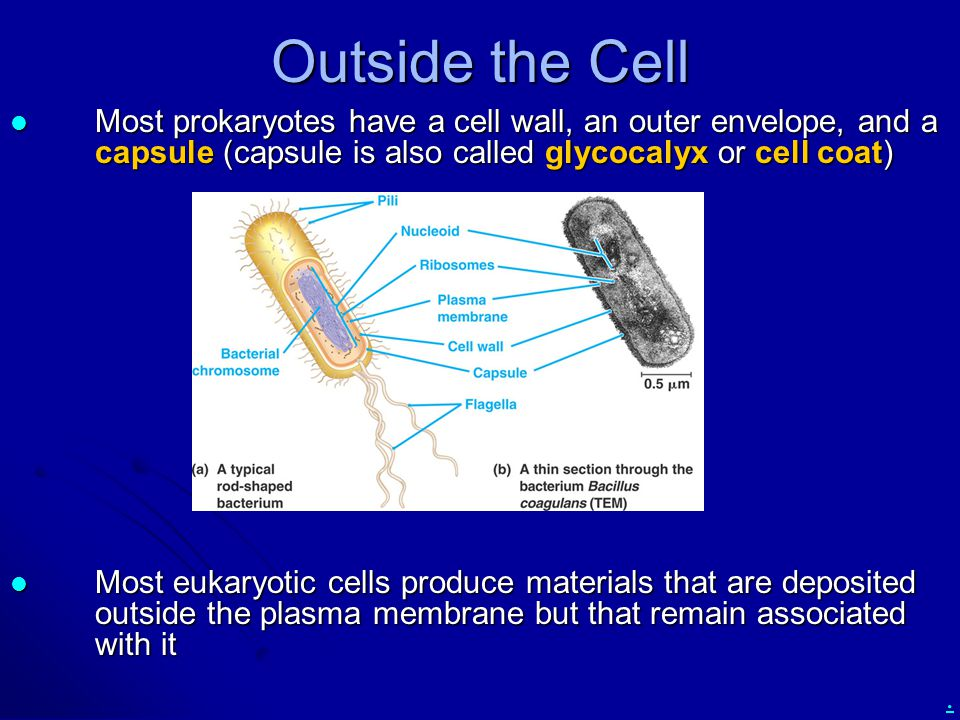 Outside the Cell Most prokaryotes have a cell wall, an outer envelope, and a capsule (capsule is also called glycocalyx or cell coat)