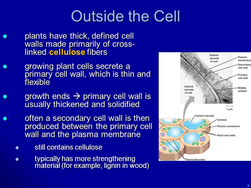 Outside the Cell plants have thick, defined cell walls made primarily of cross-linked cellulose fibers.