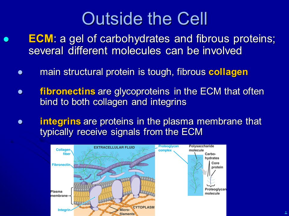 Outside the Cell ECM: a gel of carbohydrates and fibrous proteins; several different molecules can be involved.