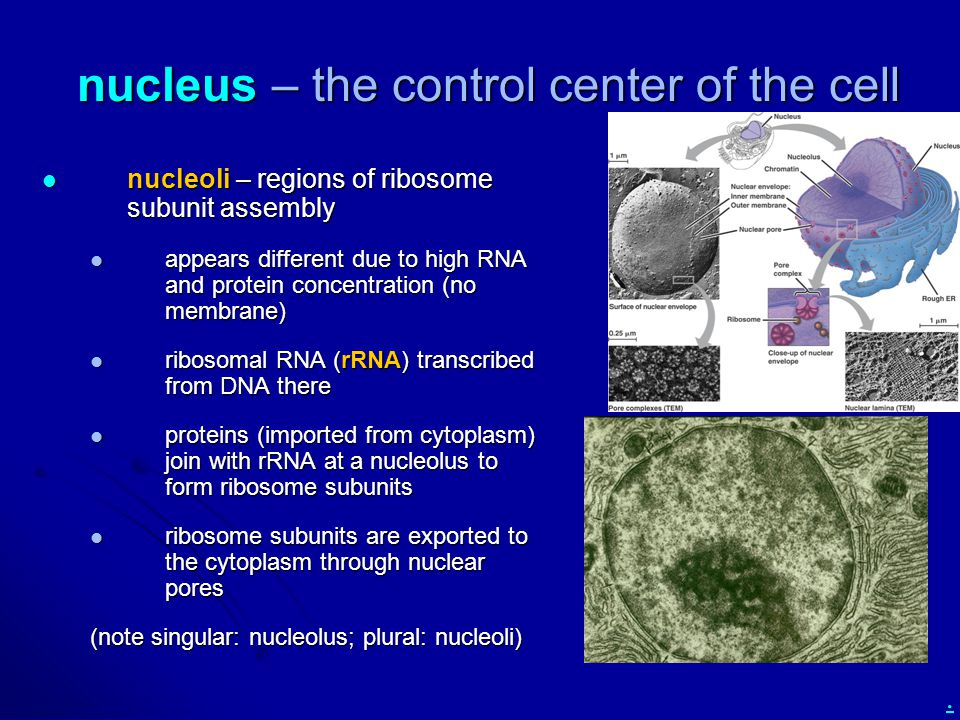 nucleus – the control center of the cell