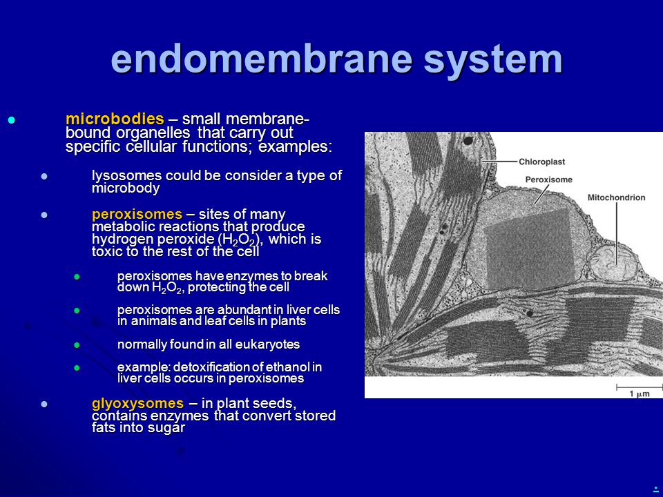 endomembrane system microbodies – small membrane-bound organelles that carry out specific cellular functions; examples: