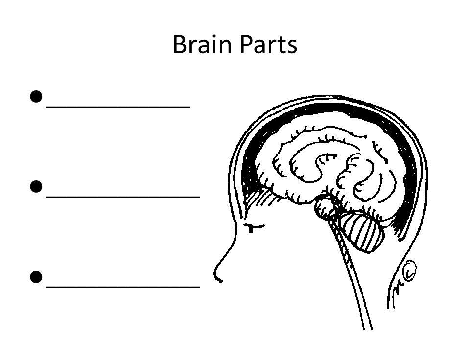 Brain Parts ______________ _______________
