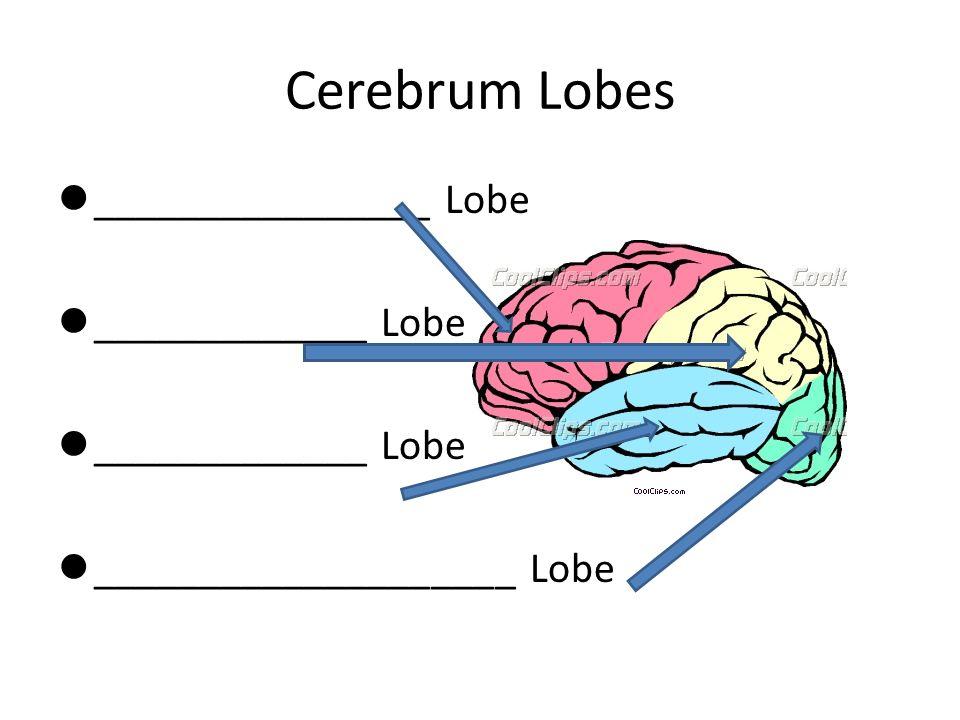 Cerebrum Lobes ________________ Lobe _____________ Lobe