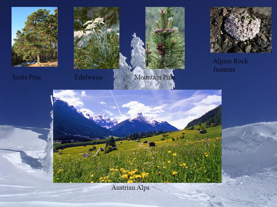 Alpine Rock Jasmine Scots Pine Edelweiss Mountain Pine Austrian Alps