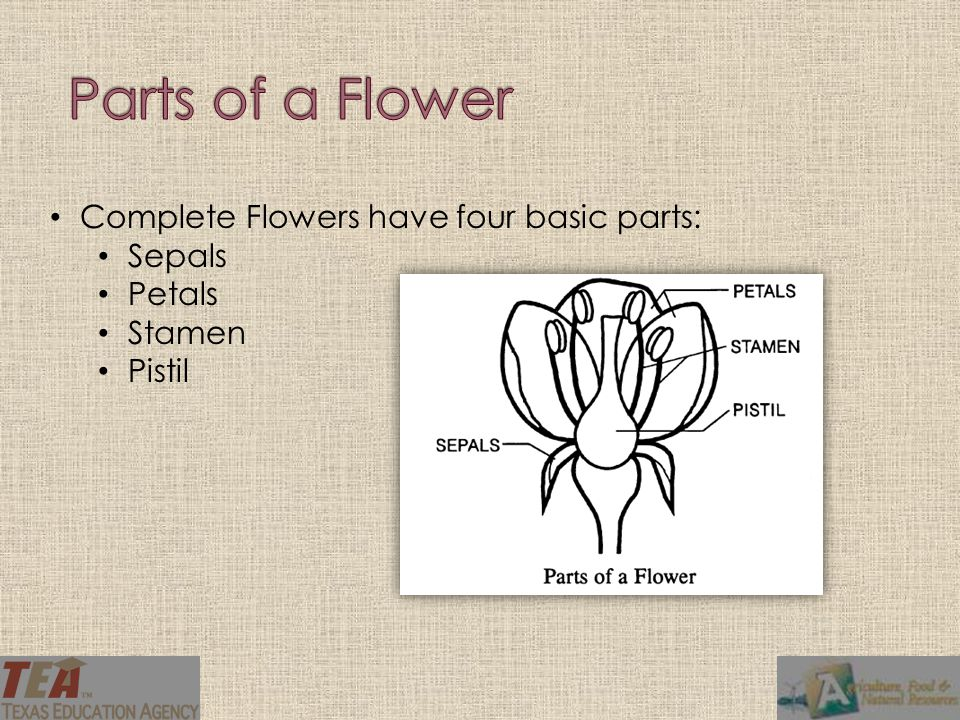 Parts of a Flower Complete Flowers have four basic parts: Sepals