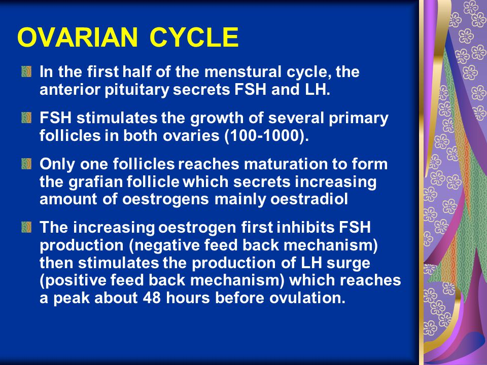 OVARIAN CYCLE In the first half of the menstural cycle, the anterior pituitary secrets FSH and LH.