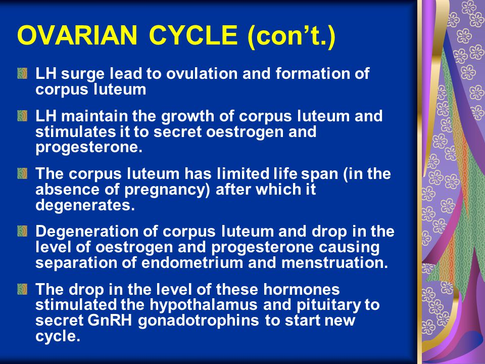 OVARIAN CYCLE (con't.) LH surge lead to ovulation and formation of corpus luteum.