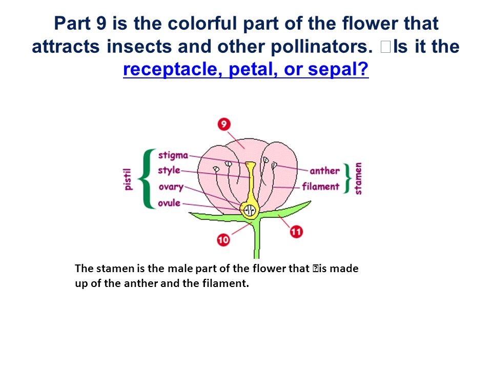 Part 9 is the colorful part of the flower that attracts insects and other pollinators. Is it the receptacle, petal, or sepal