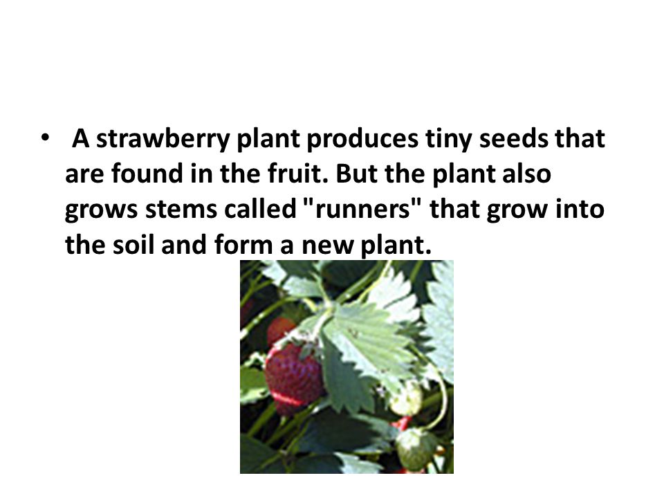 A strawberry plant produces tiny seeds that are found in the fruit